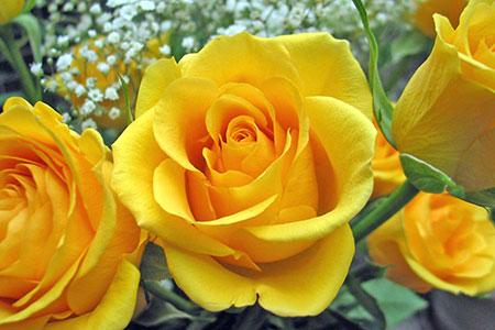 Significado del color de las rosas - Significado rosas amarillas ...