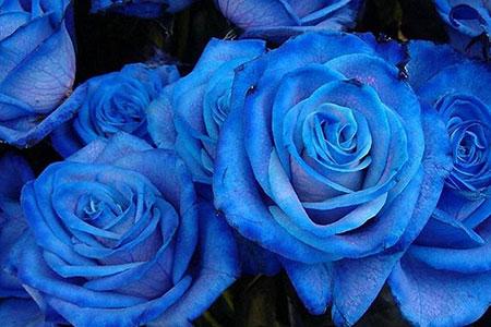 significado de las rosas azules
